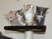 Lovely British SH x kittens