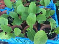 Foxglove flowers plants 80p each