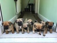 Jug puppies 3/4 pug