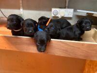 Full bred KC registered Labrador pups For sale