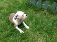 Old Tyme Bulldog puppy * Ready Now *