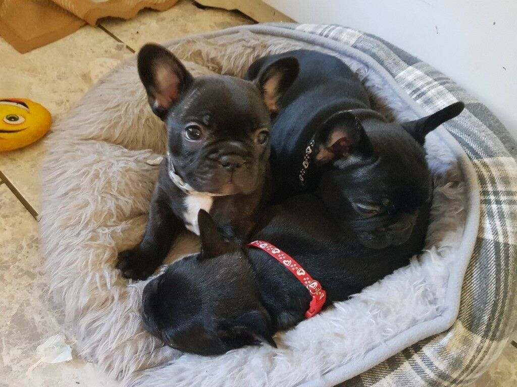 French Bulldog Puppies For Sale In Brentwood Essex Gumtree