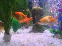 Two Ranchu Goldfish