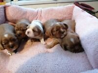 K C cavalier king charles spaniels puppies