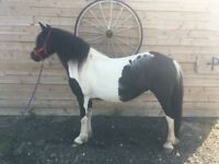 13.1h Ride and drive cob pony for sale