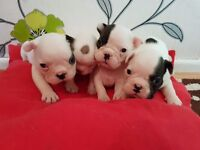 French Bulldog Puppies 4 weeks old