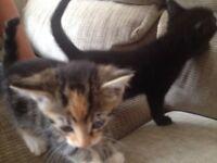 2 female long haired kittens