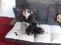 Stunning litter of mini schnauzer pups