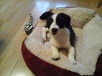 Cross jack russel puppy