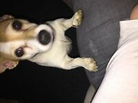 6yr old loving Jack Russel in need of forever home
