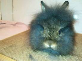 Two lionhead cross Netherland dwarf does(girls).