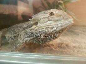 Male Beared dragon