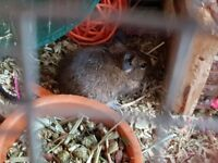2 female Degus needing a home
