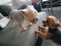 beautiful yorkshire terriers , boys