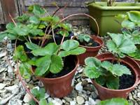 20 Strawberry Plants - 75p each - 3 for £2 or £10 the lot!!!