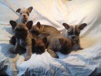 7 French Bulldog puppys