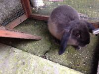 Rabbit - Mini Lop buck looking for new home.