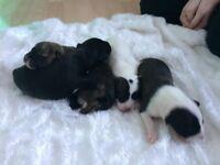 American bull x puppies