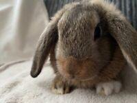 Mini lop/Dutch bunnies 3 females ready now
