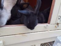 8 week old baby rabbits £15 xx