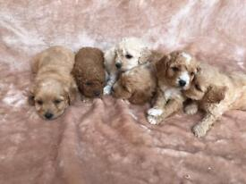 CAVAPOOCHON PUPPIES RED APRICOT AND CREAM 4 BOYS 2 GIRLS
