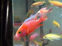 Young African Cichlids Tropical Fish