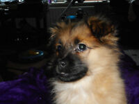 Pomeranian (girl) 9weeks old very friendly