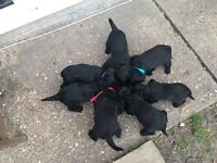 miniature labradoodle puppies