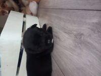 Husky mixed with nikita