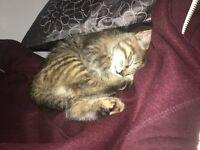 4 month Tabby kitten for sale.