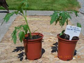 F1 SWEET MILLIONS TOMATO PLANTS