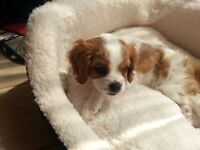King Charles Cavalier Puppies - 2 gorgeous girls available and ready to leave now.
