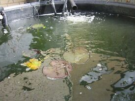 KOI HOLDING TANK NOW REDUCED TO 250.00 FOR THE LOT.