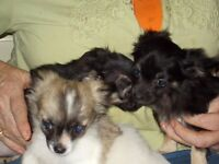 Beautiful Long Haired Pedigree Tiny Chihuahua puppies.