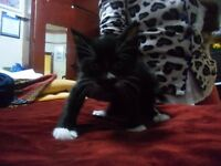 Lovely male black kitten with white patches for sale