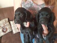 Sprocker pups ready now