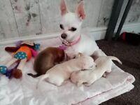 Beautiful pedigree Chihauhua puppies for sale