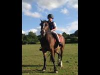 Welsh cob for sale