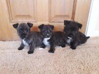 beautiful westie x jack russell puppies.