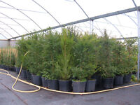 YEW hedging 12lt potted 4-5ft tall unbeatable value £35,THE KING OF HEDGES PLANT NOW.LOW,LOW, PRICE