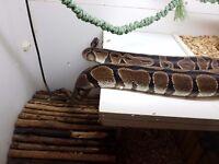 2 Royal Python snakes + Vivarium
