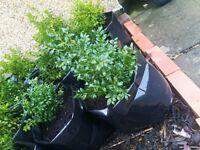 Buxus (box) plants