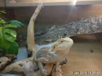 11 month old female bearded dragon with 3ft vivarium and all accessories