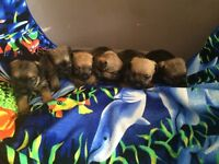 KC pedigree border terrier puppies for sale