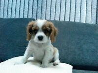 cavalier king charles spaniel puppy blenheim boy 1 available gorgeous dog
