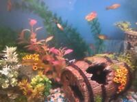Temperate young fish 4weeks +