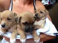 Jack Russell x chihuahua puppys