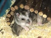 Russian Dwarf hamsters- ready to regime now
