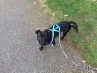 Staff pup 7 months