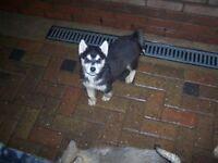 KC Registered Siberian Husky Puppy's in Thetford